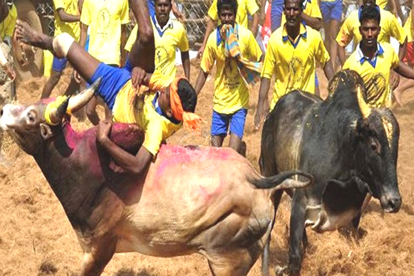 Promulgate Ordinance on Jallikattu
