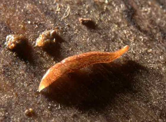 Rare flatworm with 60 eyes