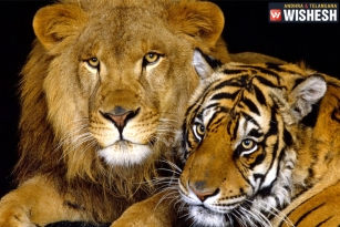 Tigers, Lions as pets