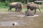 Thailand, elephant, baby elephant rushes to save trainer video goes viral, Thailand