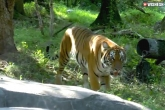 A Tiger In New York Zoo Tested Positive With Coronavirus